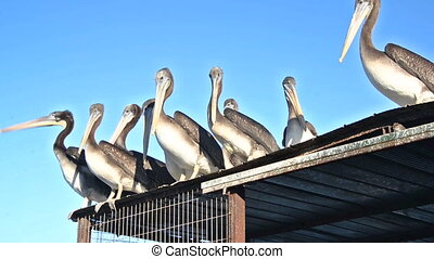 Pelicans on a Roof - Pelicans gathered on a roof in...