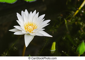Blooming white lotus in the pond - Blooming white lotus in...
