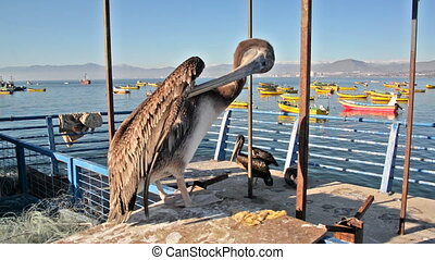 Pelican in Coquimbo, Chile - Closeup of a pelican in...