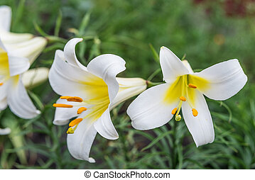 White tubular lilies - Several large flowers of white...