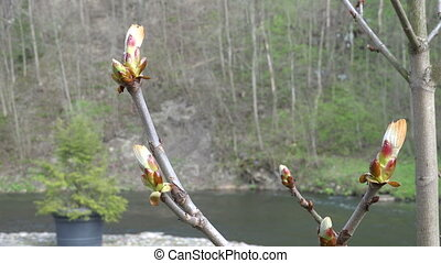 chestnut conker bud - chestnut conker tree twig buds move in...