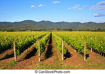 Bolgheri vineyard and hills. Maremma Tuscany, Italy -...