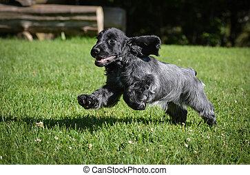 puppy running - blue roan english cocker puppy - 12 weeks...