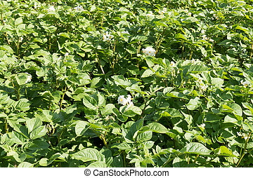 Potato plants.
