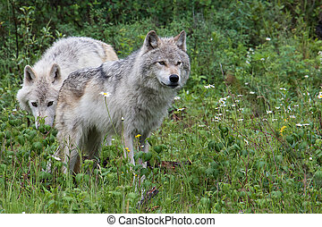 Dave and Flora 7417 - Two wolves in the mountains near...