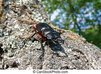 Stag-Beetle 8 - A close-up of a stag-beetle on tree.