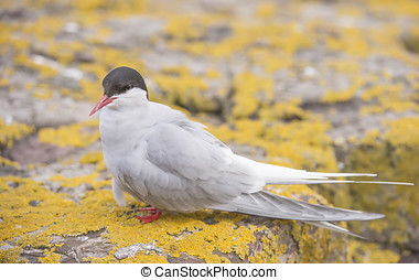 Arctic tern, Sterna paradisaea, standing on a rock