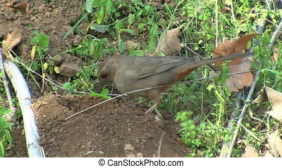 California Towhee In Chaparral - California Towhee in...