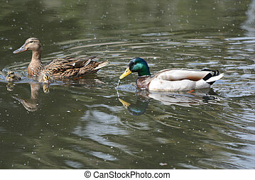 Mallard Family Swimming On Pond - Poignant spring vista on...