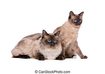 夫婦, 貓,  Ragdoll