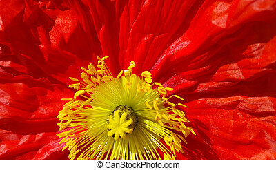 Beautiful nature background with closeup of bright red poppy...