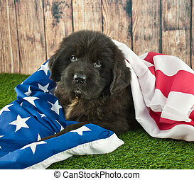 Wrapped Up In America - Newfoundland puppy wrapped up in an...