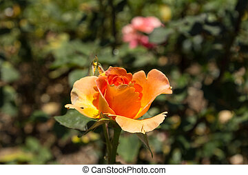 Peach rose, Rosa, blooms in spring in the garden