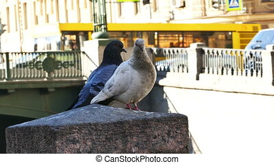 Couple of Pigeons Sitting at Channel Embankment in St. Petersburg, Russia