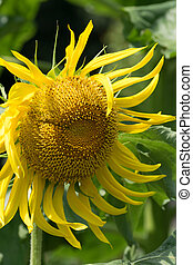 Titan sunflower