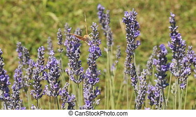 Lavender Bush - Pollination of Lavander Flowers