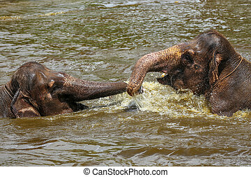 Two baby elephants playing with each other in the water in a...