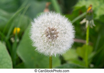 dandelion in the grass