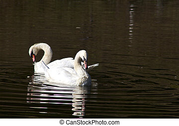 White swan in water - White Whooper Swan Swimming At The...