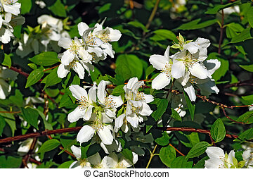 Flowered mock-orange (Philadelphus) - Beautiful flowers...