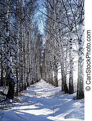 Birch alley