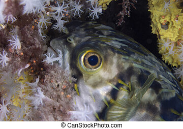 Freckled Porcupinefish juvenile - Freckled Porcupinefish...