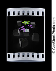 Clematis a beautiful flower in the black pot. The film strip