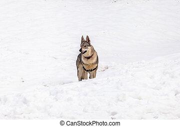 Czechoslovakian wolf dog - A Czechoslovakian wolf dog with...