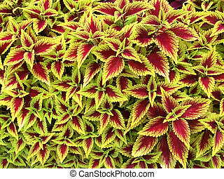 red and yellow coleus plants - beautiful red and yellow...