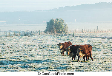HereFord Cattle Winter