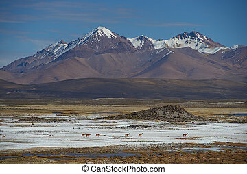 Vicuna on the Altiplano - Family group of vicuna Vicugna...