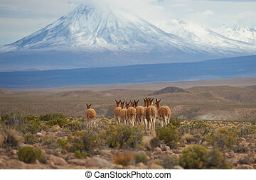 Vicuna on the Altiplano - Group of vicuna Vicugna vicugna on...