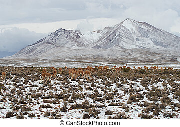 Herd of Vicuna - Large group of vicuna Vicugna vicugna...