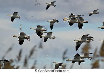Flock of Snow Geese Landing in the Marsh