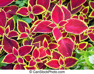 Red Coleus plants closeup on a flower bed