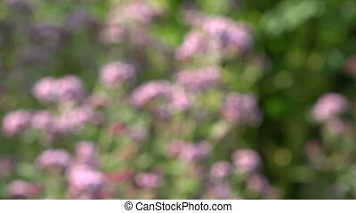 blur medical and spice herbs wild marjoram oregano flowers....