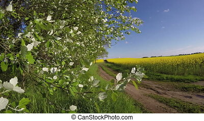 farmland rural road in spring and rapeseed blossoming...