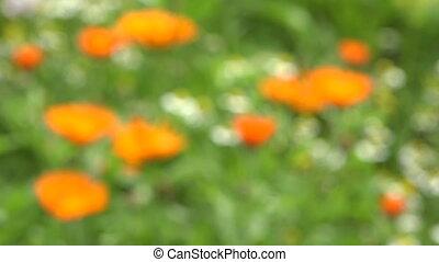 marigold calendula medical herbs - marigold calendula...