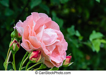 Pinkish - Raindrops on a pinkish rose (Bonita Renaissance)...
