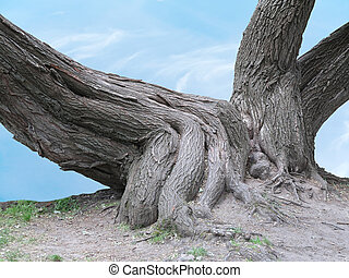 Huge roots of an old tree over blue sky