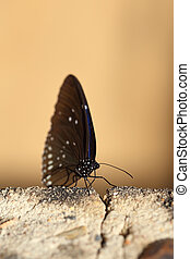 Common Indian Crow butterfly Euploea core Lucus on the stone...