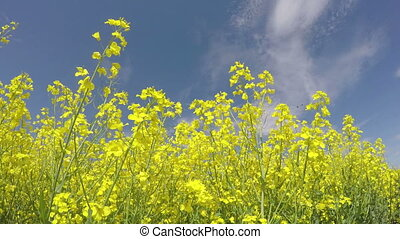 rapeseed plants blossoms on blue sky background and wind...