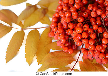 rowanberry - detail of red rowan berry