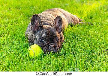 cute domestic dog brindle French Bulldog breed - Cute...
