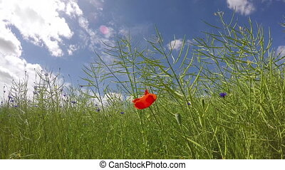 lonely poppy blossom in rapeseed - lonely red poppy blossom...