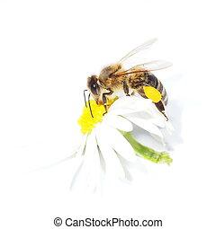 macro bee with pollen on flower