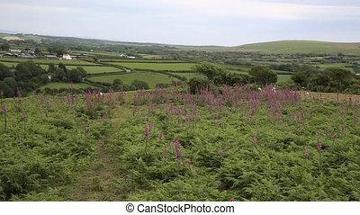 Pink foxglove flowers Ryers Down - View of Welsh countryside...