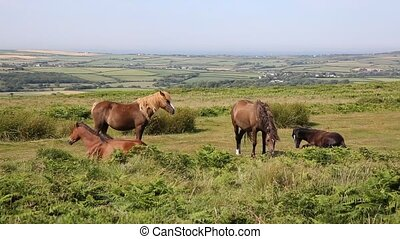 Wild ponies and welsh countryside The Gower peninsula South...