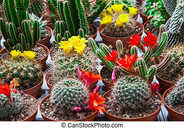 different blossoming cactuses on a counter of shop