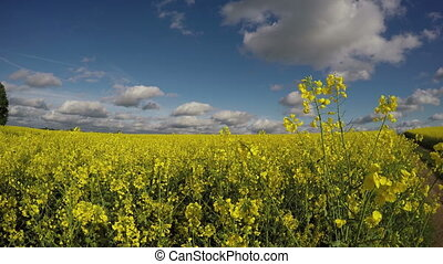 beautiful rapeseed canola field in summer 4K